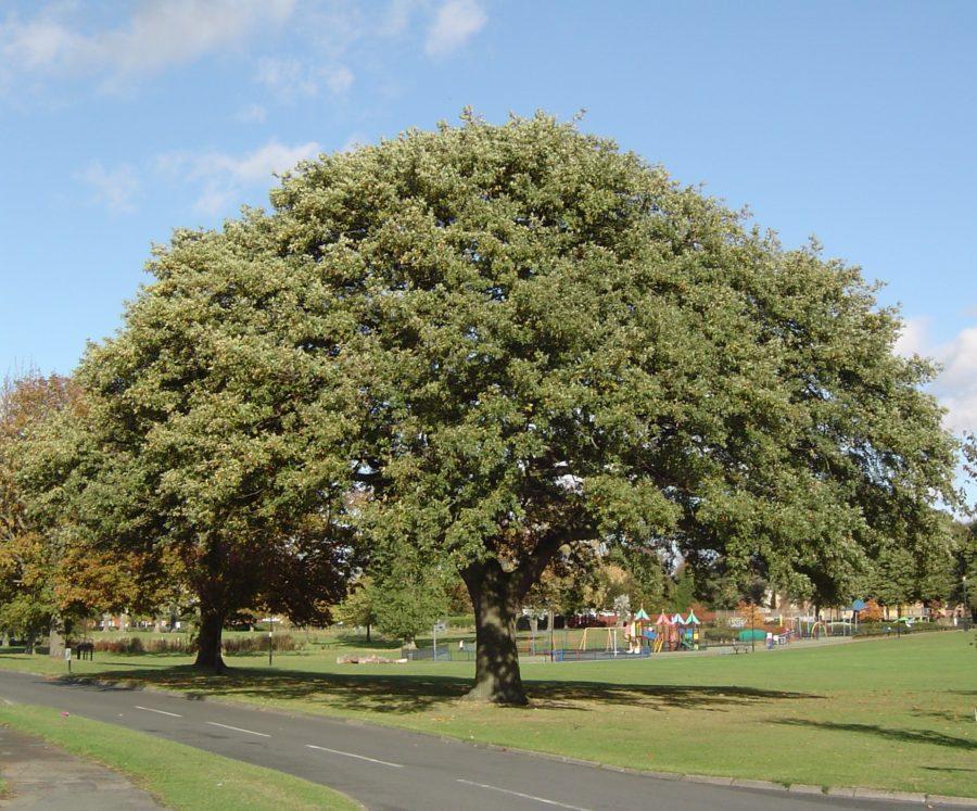 Oak tree in Abbey Park