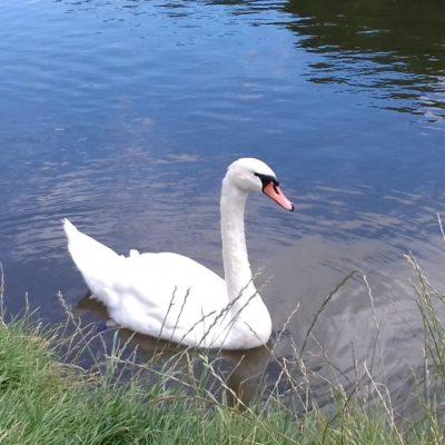 Swan in Avon Meadows