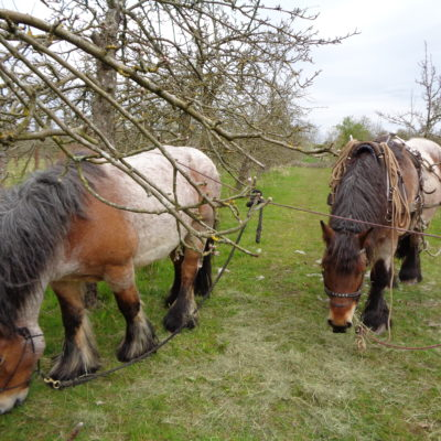 Tiddesley Wood Open Day Working Horses