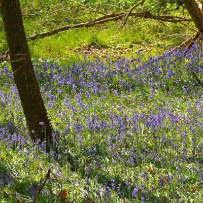 Tiddesley Wood Bluebells
