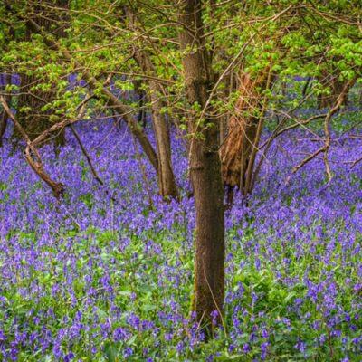 Tiddesley Wood Bluebells in Spring