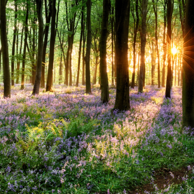 Tiddesley Wood Bluebells and Sunset