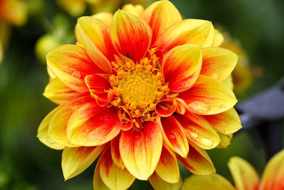 Yellow and Orange Dahlia Flower Head